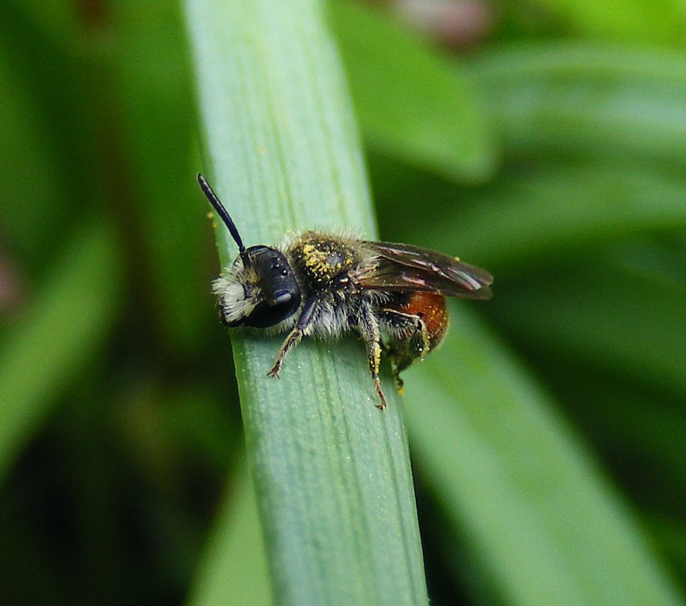 Andrena labiata - Red-girdled mining bee