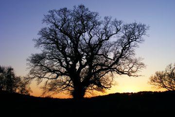 Adams Oak