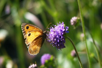 Devil's bit scabious and and Gatekeeper butterfly