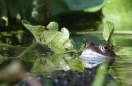 Common frog by Jane Adams
