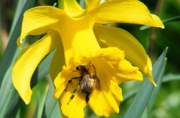 Feather-footed flower bee